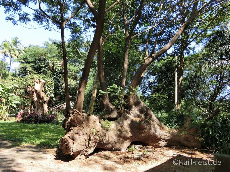 Yangon Zoo Baum aus Baum wächst