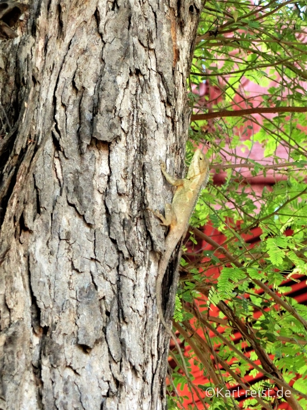 Echse am Baum Mandalay Palace