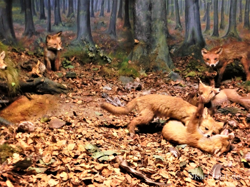 Diorama mit Fuchs im Wald im Naturhistorischen Museum Braunschweig