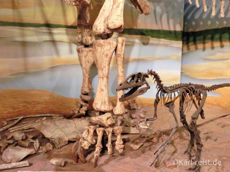 Dinosaurierskelett eines Raubdinosauriers Raptor im Naturhistorischen Museum Braunschweig