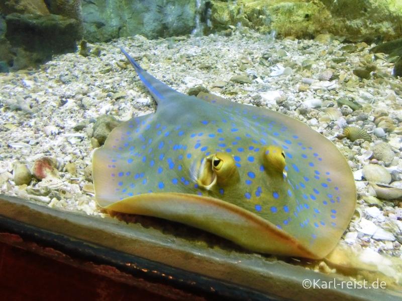 Rochen im Aquarium im Rayong Aquarium Ban Phe