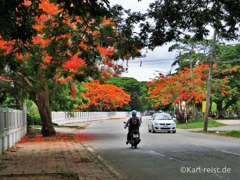 Blühende Bäume Ban Phe Rayong