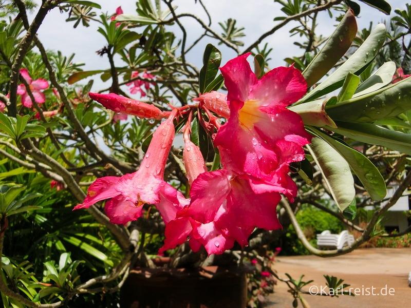 Blühende pinke Blume im Novotel Rim Pae Rayong Hotel Resort Klaeng Ban Phe Garten