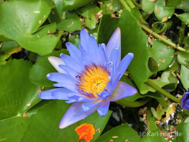 Blühende Blume im Novotel Rim Pae Rayong Hotel Resort Klaeng Ban Phe Garten Swimmingpool