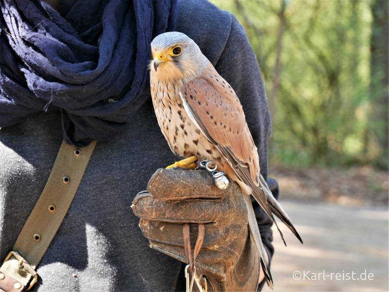 Falke im Wildpark Eekholt