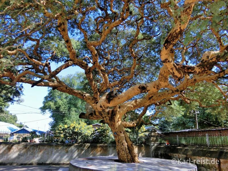 Baum bei Mingun Glocke