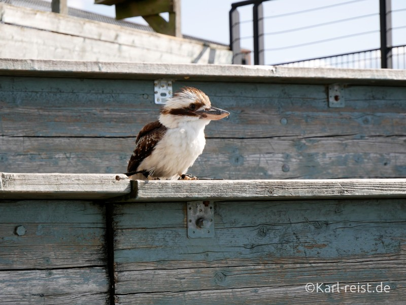 Geants du Ciel Kookaburra