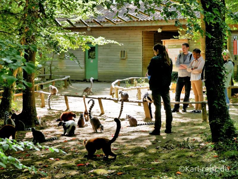 Vallée des Singes Romange Tal der Affen Katta Fütterung