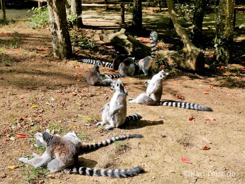 vallée des Singes Romange Tal der Affen Kattas ganz relaxt