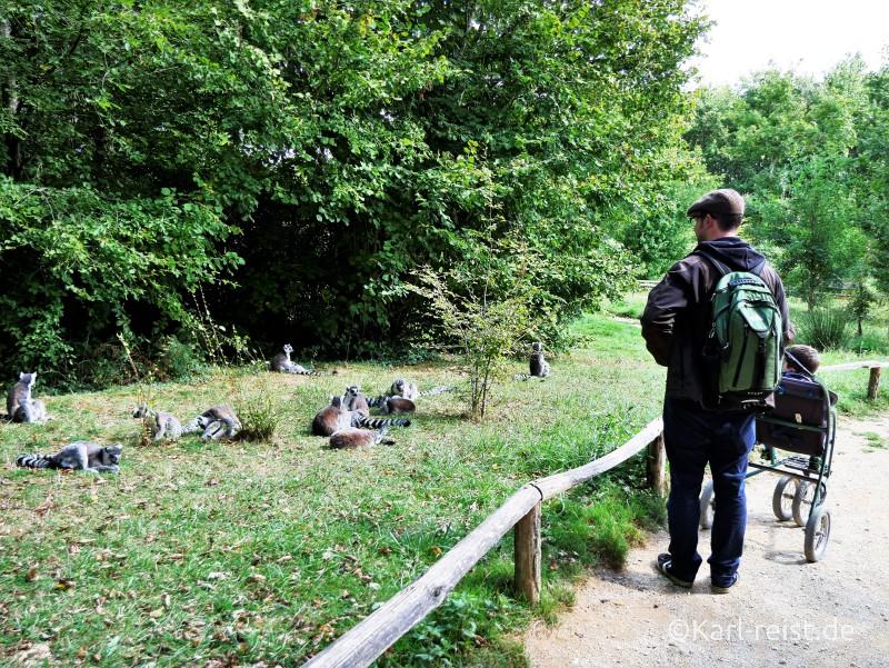 Vallée des Singes Romange Tal der Affen Kattas