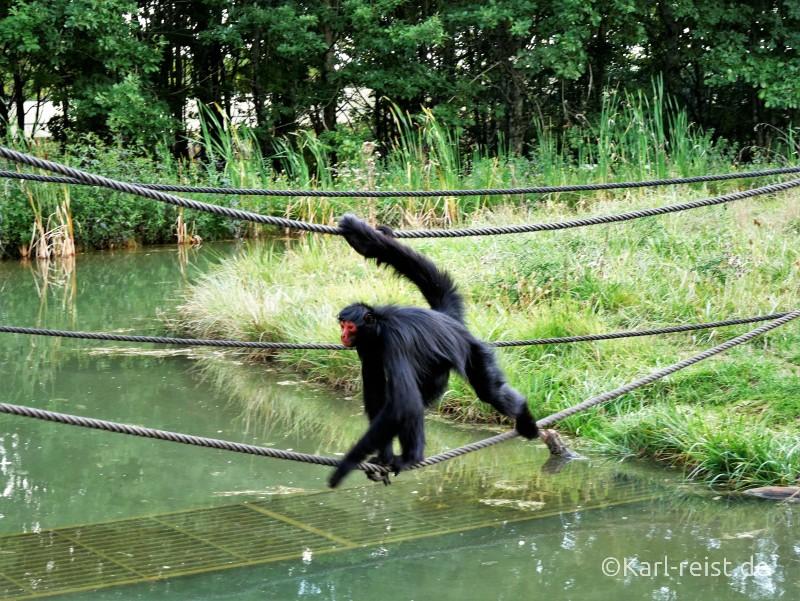 Vallée des Singes Romange Tal der Affen Rotgesichtklammeraffe
