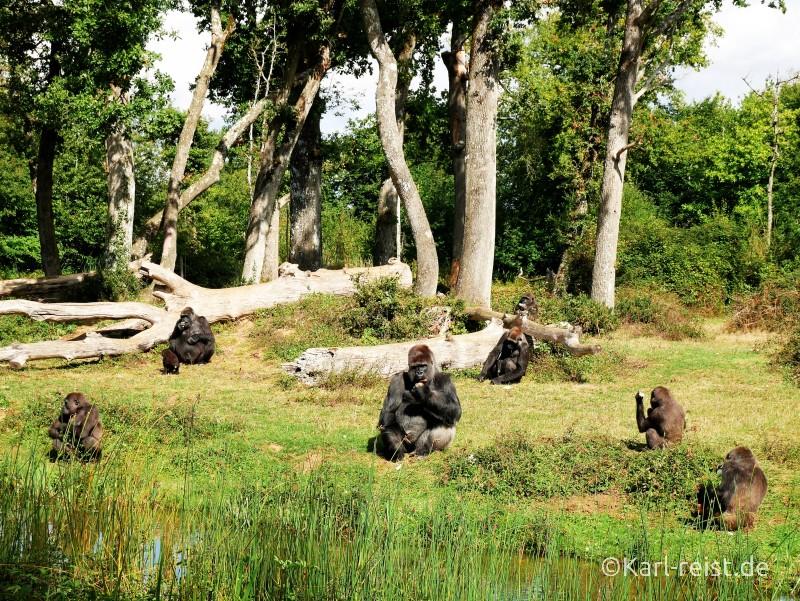 Vallée des Singes Romange Tal der Affen Gorillas bei der Fütterung