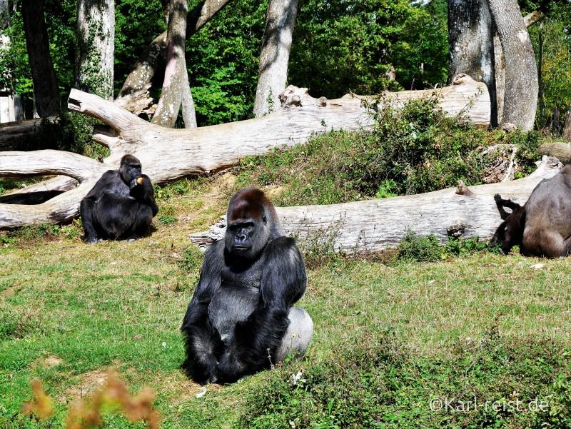 Vallée des Singes Romange Tal der Affen Silberrücken Gorilla