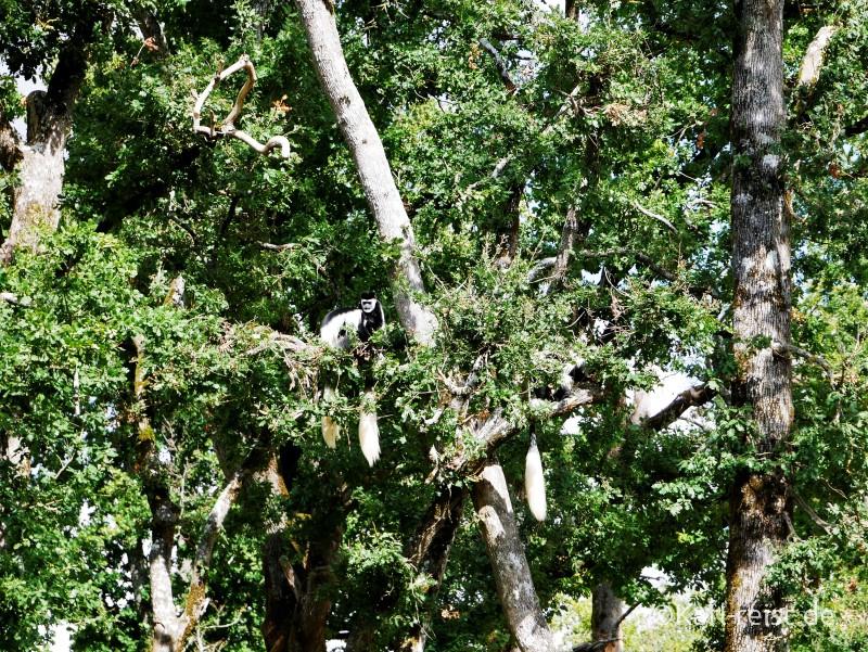 Vallée des Singes Romange Tal der Affen Mantelaffe im Baum