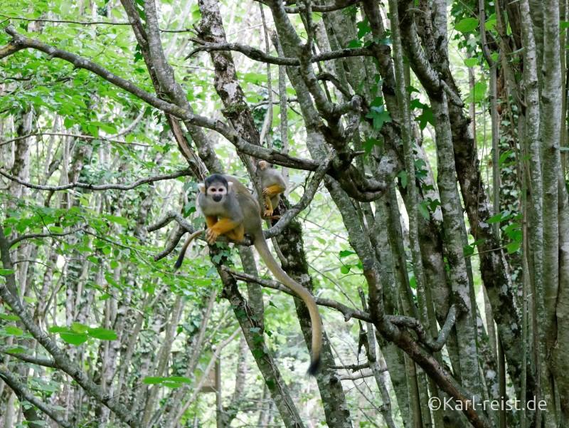 Vallée des Singes Romange Tal der Affen Totenkopfäffchen