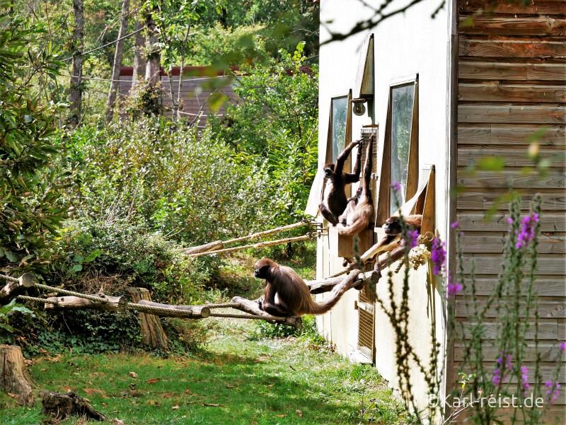 Vallée des Singes Romange Tal der Affen Weißstirnklammeraffen beim Relaxen in der Sonne