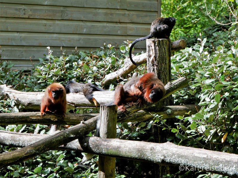 Vallée des Singes Romange Tal der Affen Löwenäffchen
