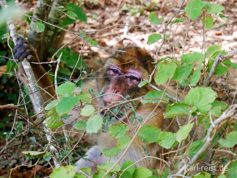 Vallée des Singes Romange Tal der Affen Berberaffe versteckt sich