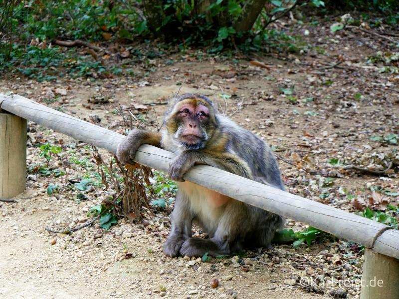 Vallée des Singes Romange Tal der Affen Berberaffe
