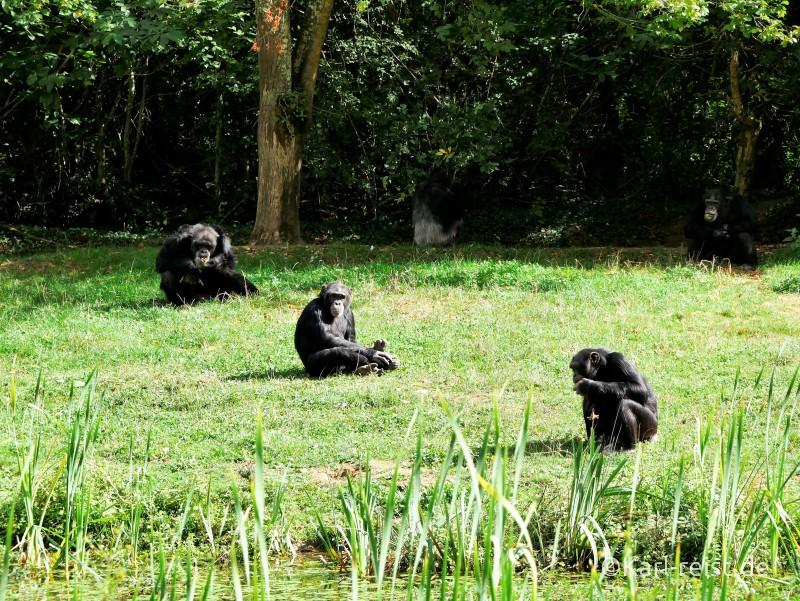 Vallée des Singes Romange Tal der Affen Schimpansen bei der Fütterung