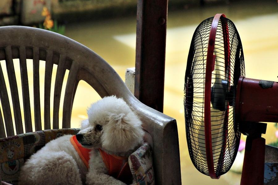 Hund vor Ventilator in Thailand