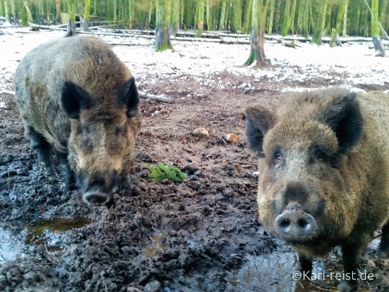Wildpark Eekholt Wildschweine