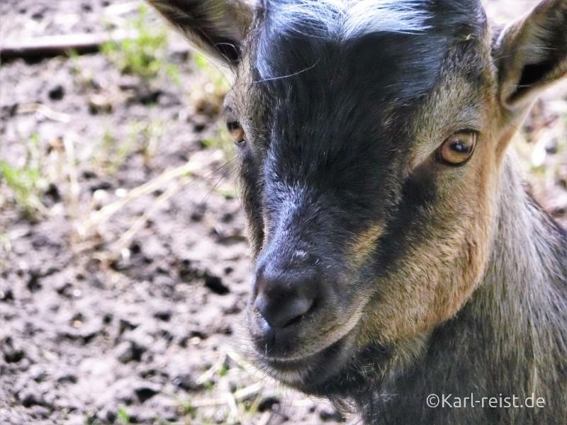 Wildpark Eekholt Ziege