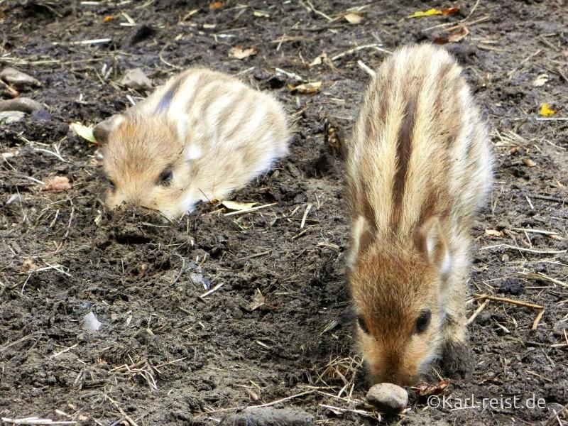 Wildpark Eekholt Frischlinge Wildschwein