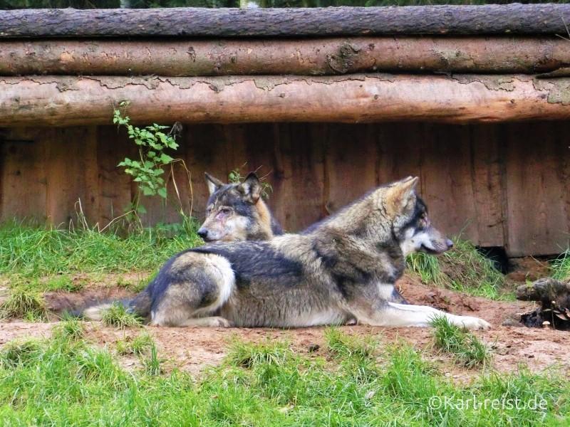 Wildpark Eekholt Wolf Wölfe