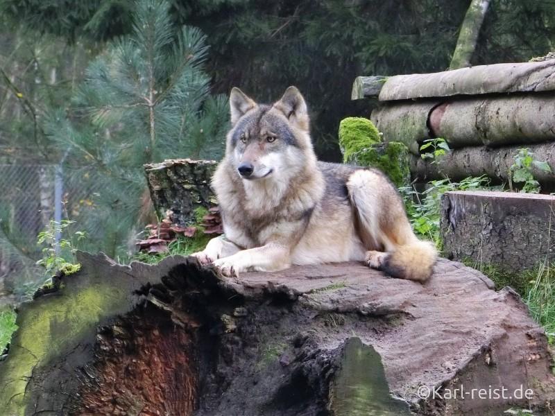 Wildpark Eekholt Wolf