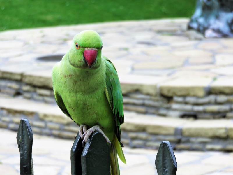 Papageien im Hydre Park