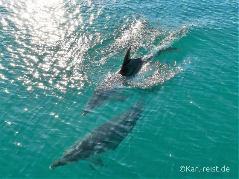 Neuseeland Nordinsel Paihia Delfine