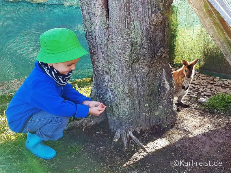Neuseeland Wallaby füttern Südinsel