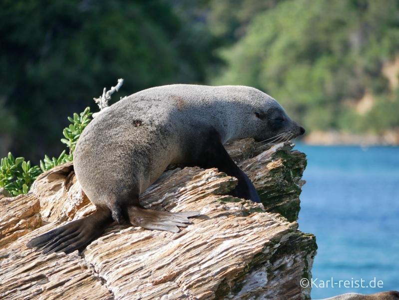 Neuseeland Südinsel Pelzrobbe