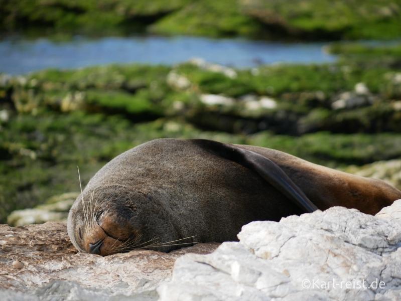 Neuseeland Südinsel Seehund Pelzrobbe Kaikoura