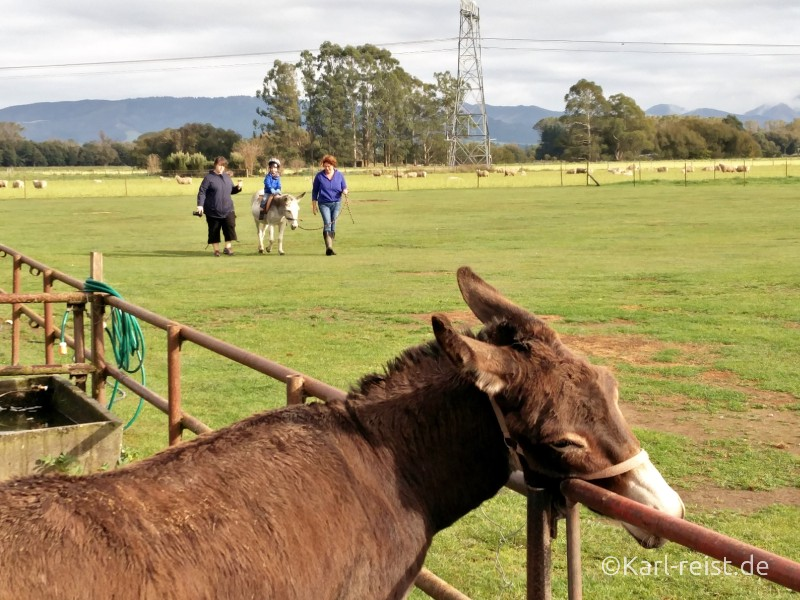 Farmyard Holiday Park Geraldine Esel reiten