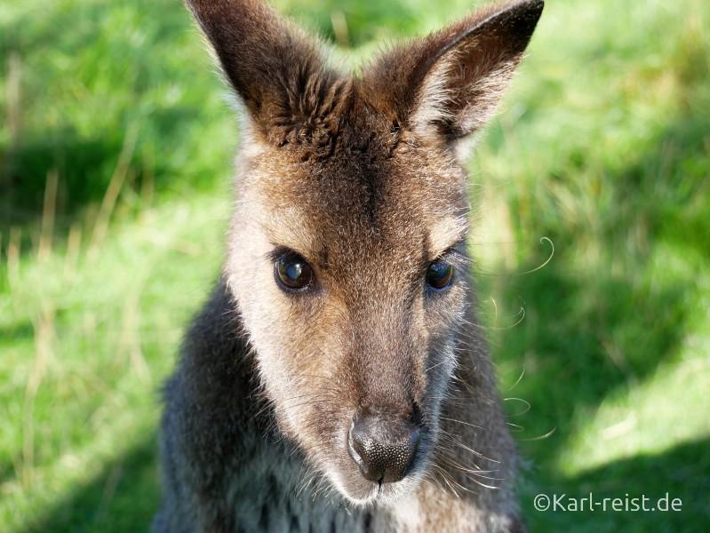Tame Wallabies EnkleDooVery Korna Waimate Wallaby Park