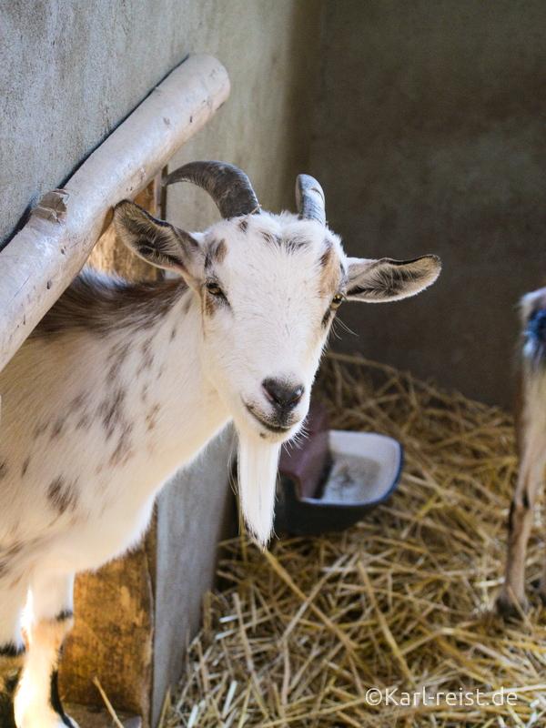 Tierpark Essehof Lehre Ziege