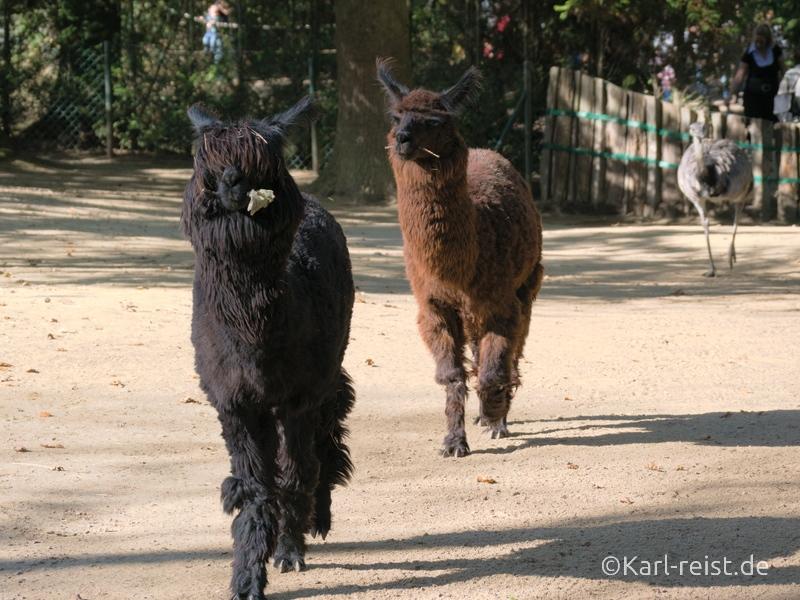 Tierpark Essehof Lehre Alpaka