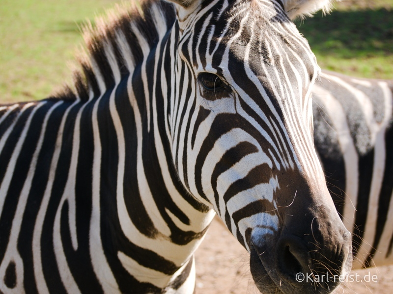 Tierpark Essehof Lehre Zebra