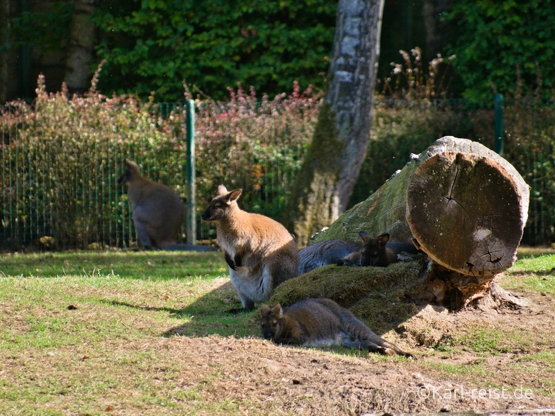 Tierpark Essehof Lehre Wallaby