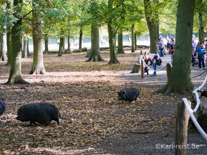 Tierpark Essehof Lehre Schweine