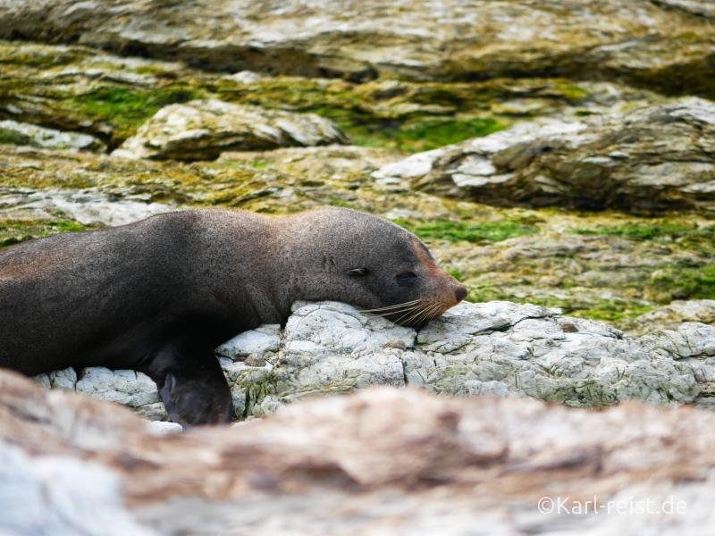 Bild Rundreise Neuseeland Südinsel 3 Wochen Kaikoura Robbe