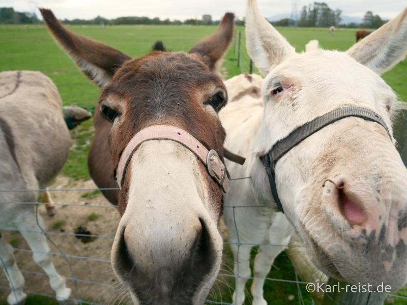 Bild Rundreise Neuseeland Südinsel 3 Wochen Greymouth Farmyard Park