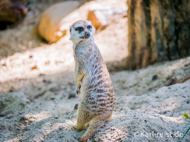 Rostock Zoo Erdmännchen blickt über die Schulter