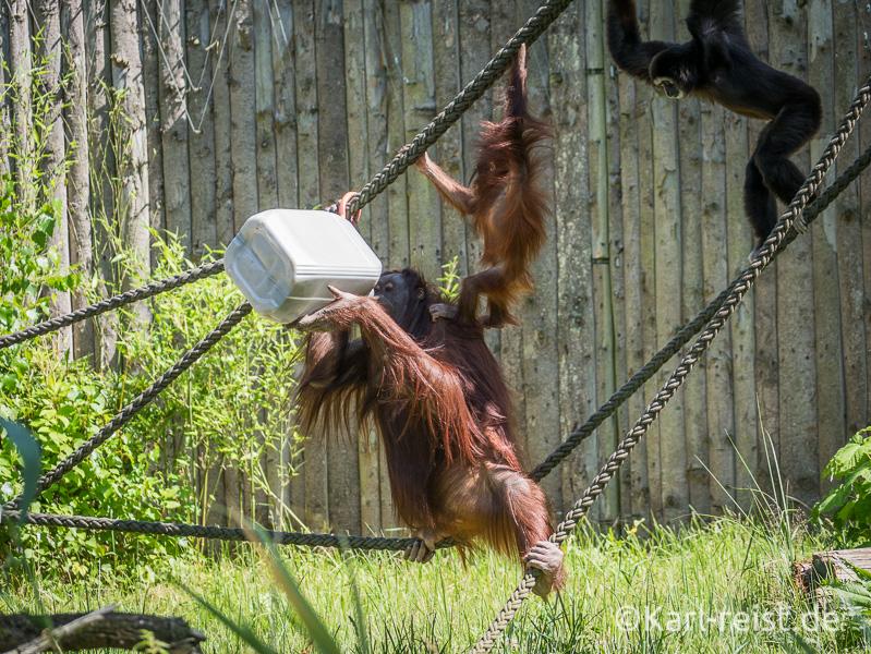 Rostock Zoo Darwineum Orang Utan mit Baby und drittem Affen klettern auf einem Seil