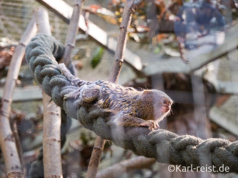 Rostock Zoo Darwineum kleines Äffchen auf einem Seil