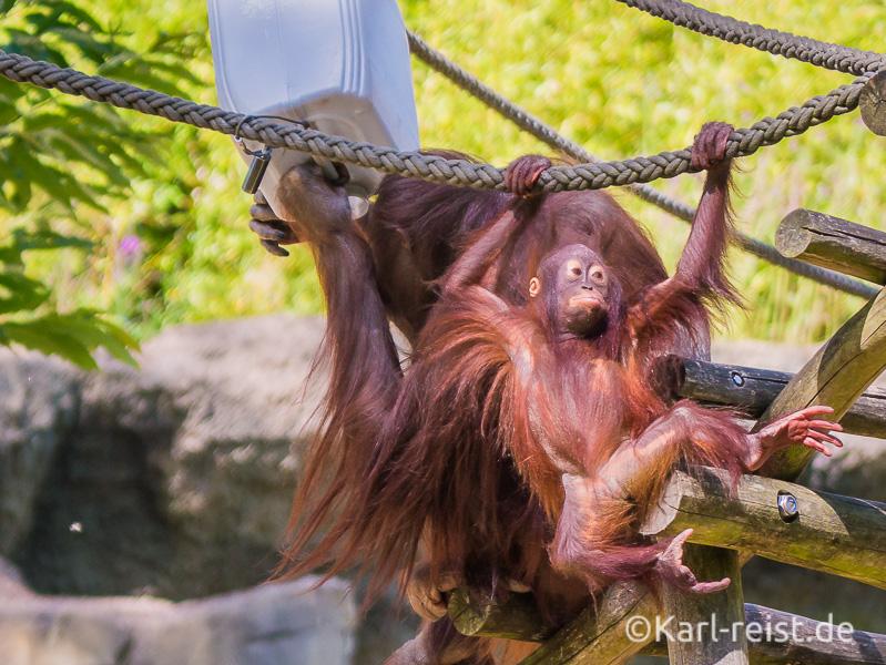 Rostock Zoo Darwineum Orang Utan Baby klettert